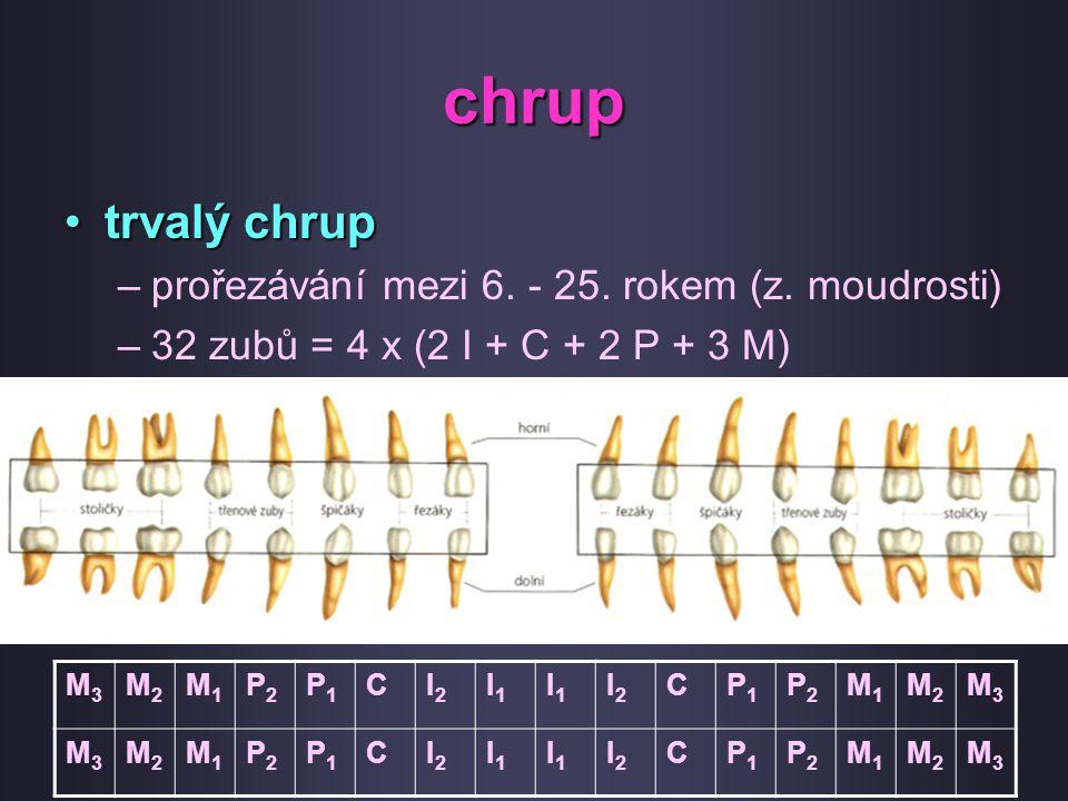 chrup trvalý chruptrvalý chrup –prořezávání mezi 6. - 25. rokem (z. moudrosti) –32 zubů = 4 x (2 I + C + 2 P + 3 M) M3M3 M2M2 M1M1 P2P2 P1P1 CI2I2 I1I