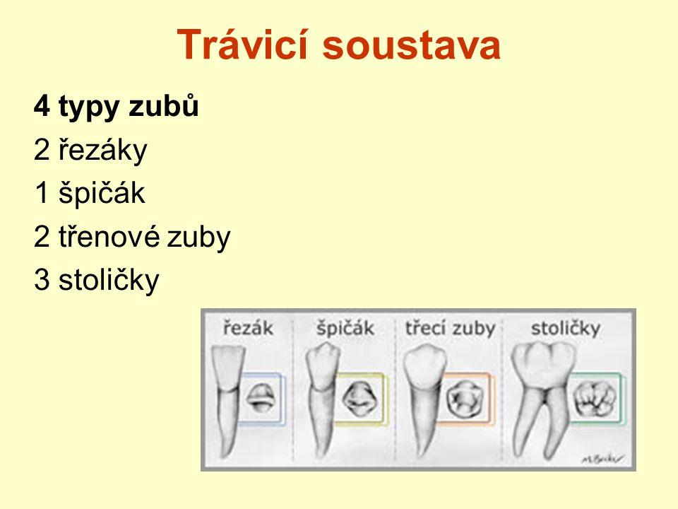 Trávicí soustava 4 typy zubů 2 řezáky 1 špičák 2 třenové zuby 3 stoličky