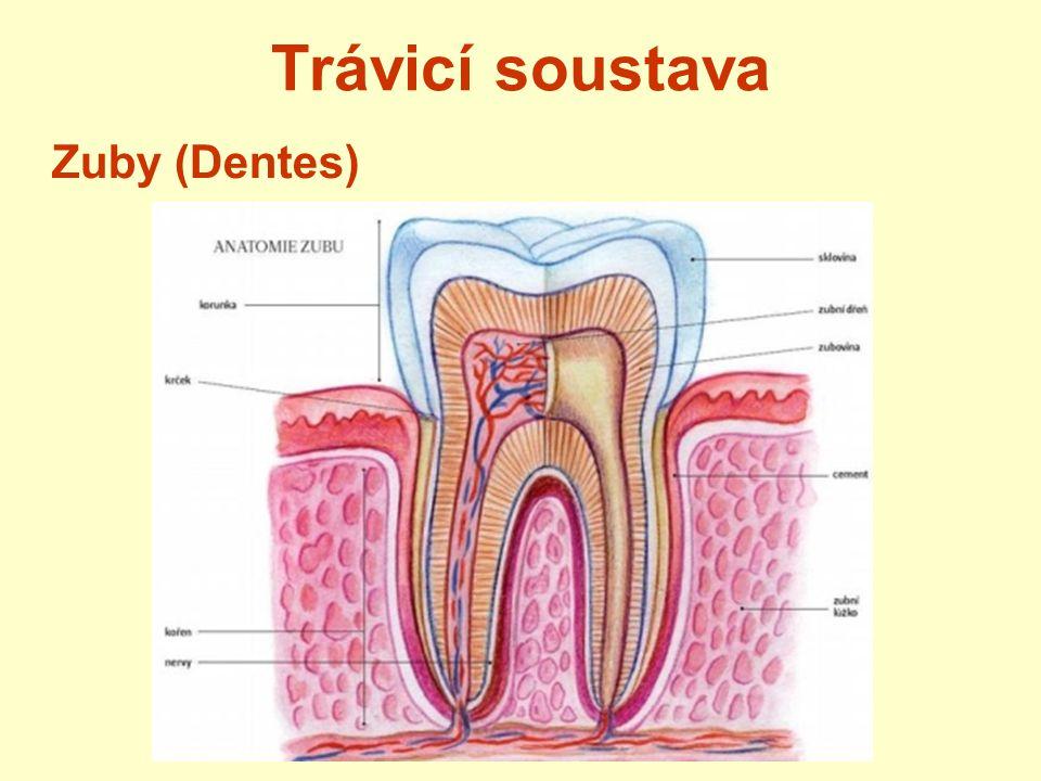 Trávicí soustava Zub 3 základní části: korunka krček- kryt dásní kořen –v čelistech stavba zubu: povrch – sklovina – nejtvrdší část zubu pod ní – zubovina uvnitř – zubní dřeň – cévy, nervy