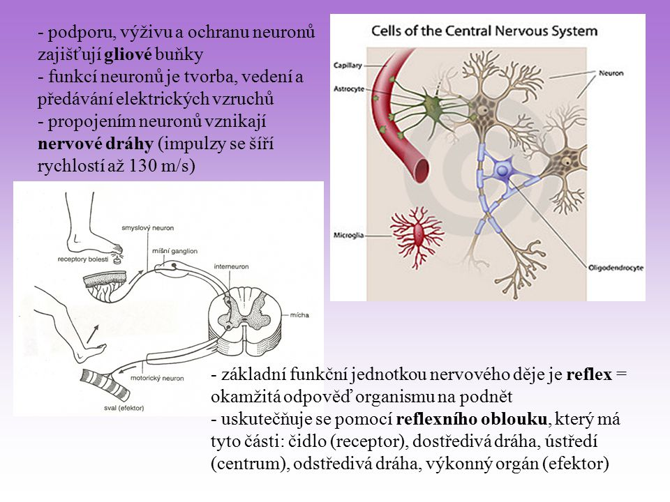 - podporu, výživu a ochranu neuronů zajišťují gliové buňky - funkcí neuronů je tvorba, vedení a předávání elektrických vzruchů - propojením neuronů vz