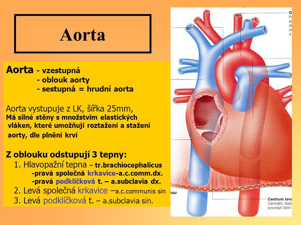 Aorta Aorta - vzestupná - oblouk aorty - sestupná = hrudní aorta Aorta vystupuje z LK, šířka 25mm, Má silné stěny s množstvím elastických vláken, které umožňují roztažení a stažení aorty, dle plnění krví Z oblouku odstupují 3 tepny: 1.