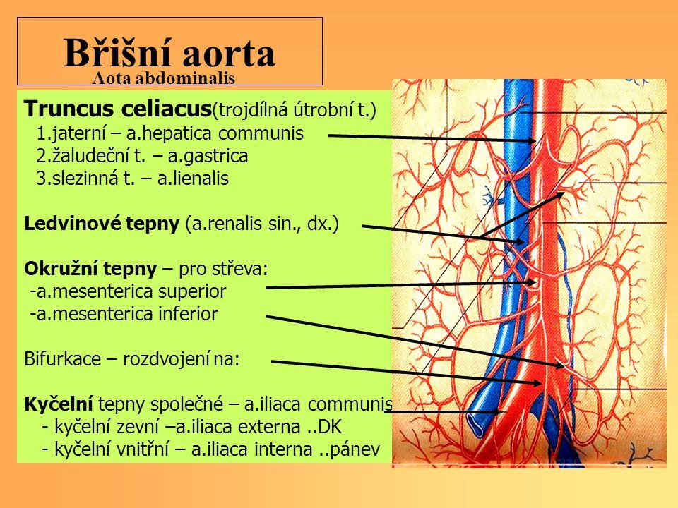Břišní aorta Truncus celiacus (trojdílná útrobní t.) 1.jaterní – a.hepatica communis 2.žaludeční t.