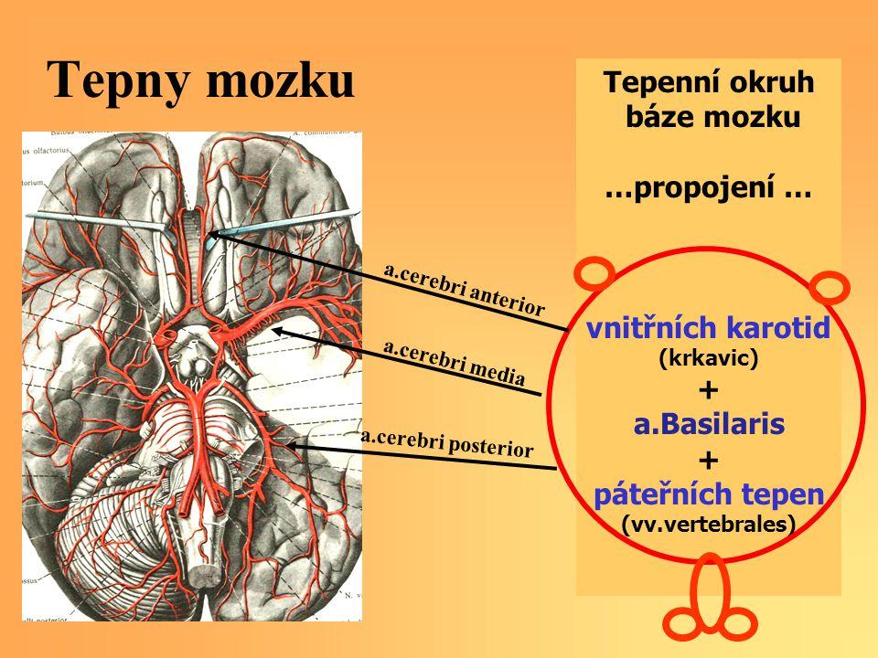 Tepny mozku Tepenní okruh báze mozku …propojení … vnitřních karotid (krkavic) + a.Basilaris + páteřních tepen (vv.vertebrales) a.cerebri anterior a.cerebri media a.cerebri posterior