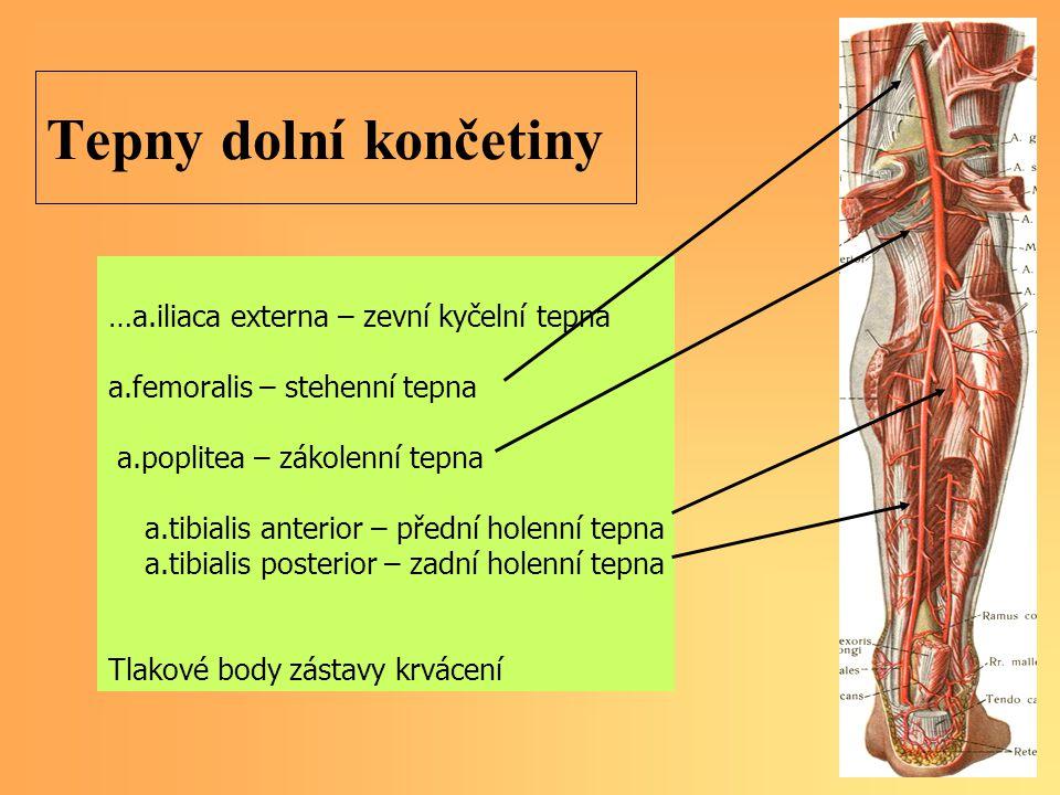 Tepny dolní končetiny …a.iliaca externa – zevní kyčelní tepna a.femoralis – stehenní tepna a.poplitea – zákolenní tepna a.tibialis anterior – přední holenní tepna a.tibialis posterior – zadní holenní tepna Tlakové body zástavy krvácení