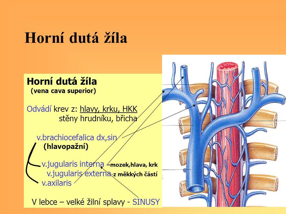 Horní dutá žíla (vena cava superior) Odvádí krev z: hlavy, krku, HKK stěny hrudníku, břicha v.brachiocefalica dx,sin (hlavopažní) v.jugularis interna –mozek,hlava, krk v.jugularis externa -z měkkých částí v.axilaris V lebce – velké žilní splavy - SINUSY