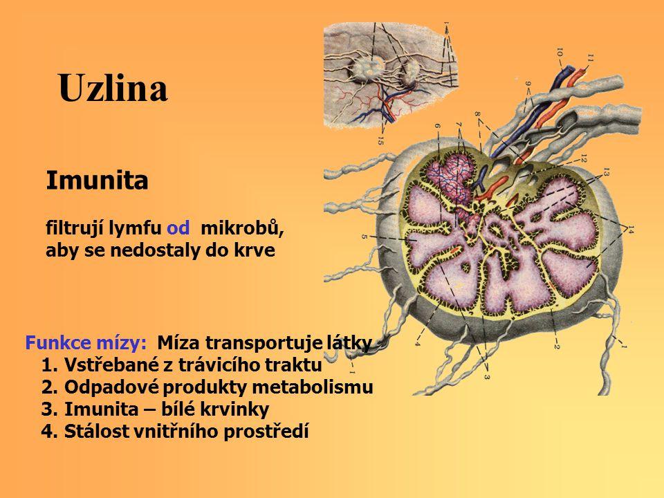 Uzlina Imunita filtrují lymfu od mikrobů, aby se nedostaly do krve Funkce mízy: Míza transportuje látky 1.
