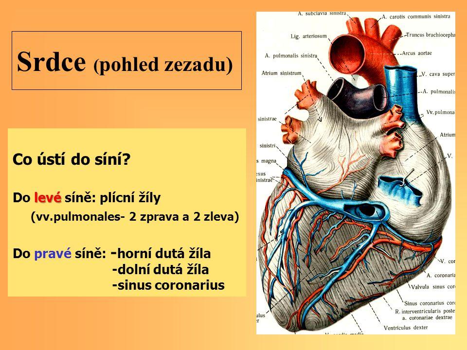 Srdce ( pohled zezadu) Co ústí do síní.