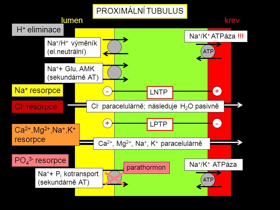 PROXIMÁLNÍ TUBULUS Na + + P i kotransport (sekundárně AT) PO 4 3- resorpce parathormon ATP Na + /K + ATPáza lumenkrev ATP Na + + Glu, AMK (sekundárně