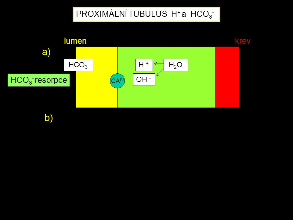 PROXIMÁLNÍ TUBULUS H + a HCO 3 - CA IV HCO 3 - H + H 2 O HCO 3 - resorpce a) lumenkrev OH - b)