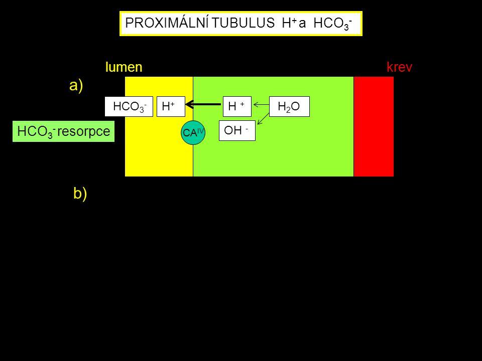 PROXIMÁLNÍ TUBULUS H + a HCO 3 - CA IV HCO 3 - H+H+ H + OH - H 2 O HCO 3 - resorpce a) lumenkrev b)