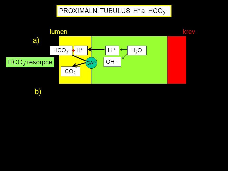 PROXIMÁLNÍ TUBULUS H + a HCO 3 - CA IV HCO 3 - H+H+ CO 2 H + OH - H 2 O HCO 3 - resorpce a) b) lumenkrev +