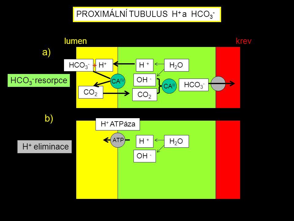 H + ATPáza ATP H + OH - H 2 O H + eliminace PROXIMÁLNÍ TUBULUS H + a HCO 3 - CA IV HCO 3 - H+H+ CO 2 HCO 3 - H + OH - CO 2 H 2 O CA II HCO 3 - resorpc