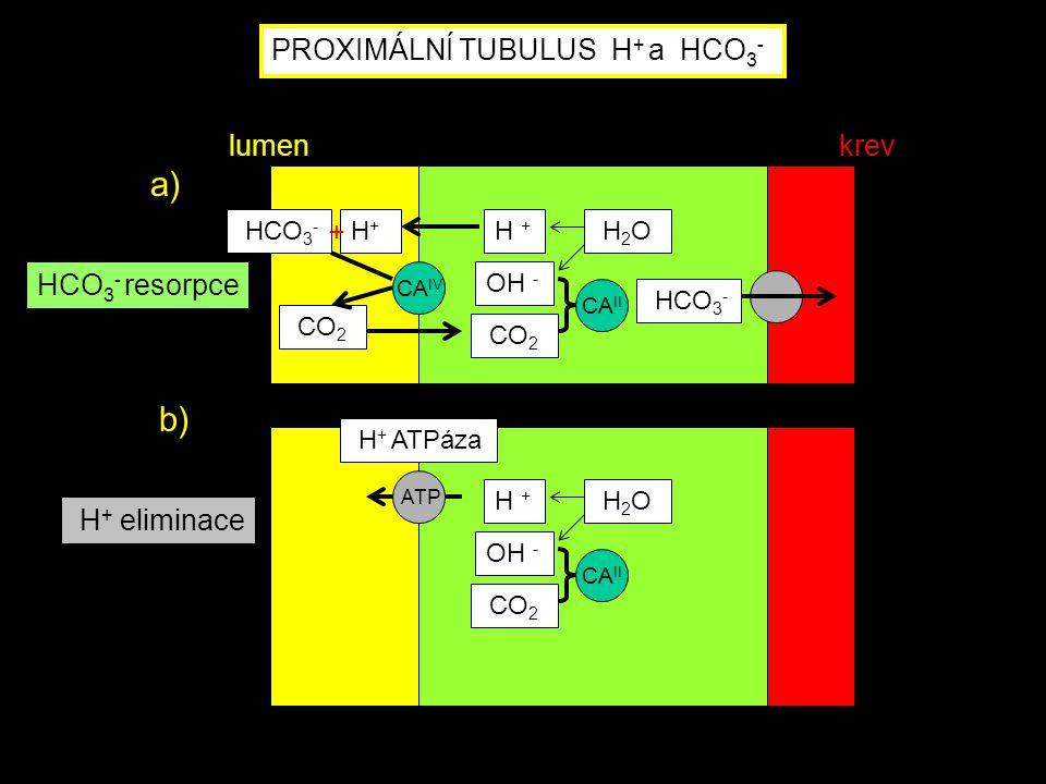 H + ATPáza ATP H + OH - CO 2 H 2 O CA II H + eliminace PROXIMÁLNÍ TUBULUS H + a HCO 3 - CA IV HCO 3 - H+H+ CO 2 HCO 3 - H + OH - CO 2 H 2 O CA II HCO