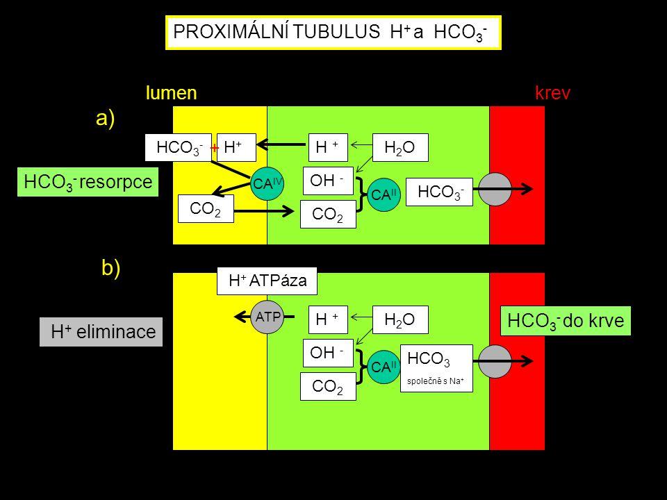 H + ATPáza ATP HCO 3 společně s Na + H + OH - CO 2 H 2 O CA II H + eliminace HCO 3 - do krve PROXIMÁLNÍ TUBULUS H + a HCO 3 - CA IV HCO 3 - H+H+ CO 2