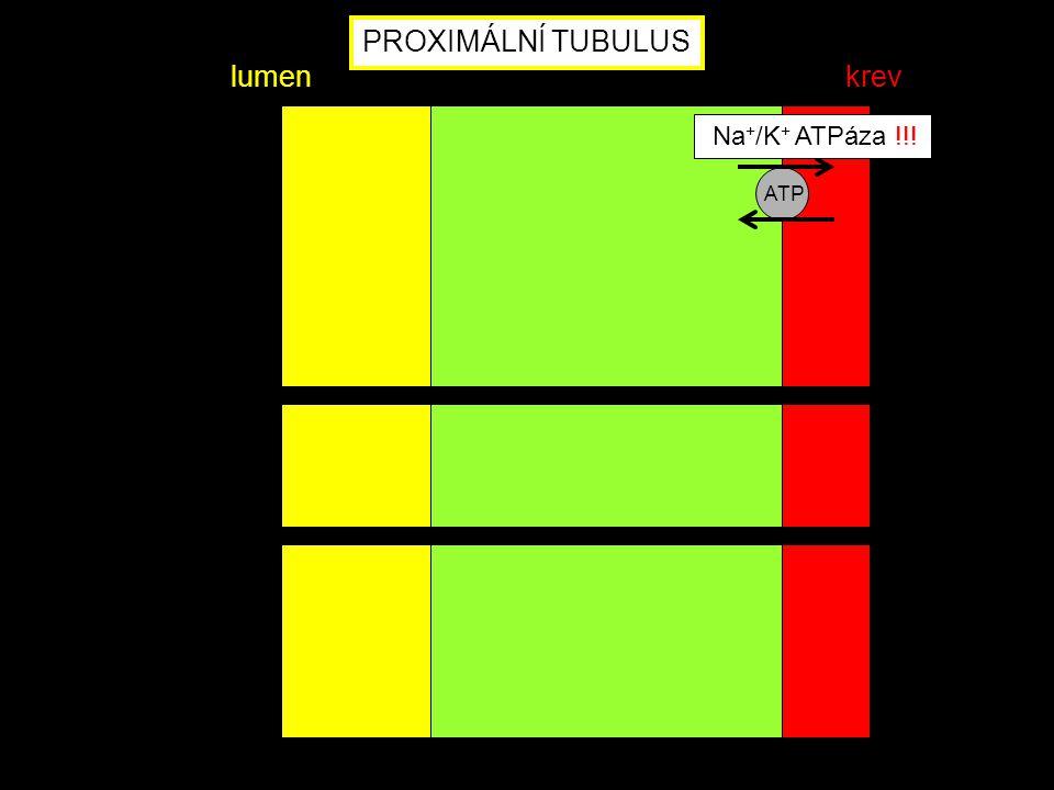 ATP Na + /K + ATPáza !!! PROXIMÁLNÍ TUBULUS lumenkrev