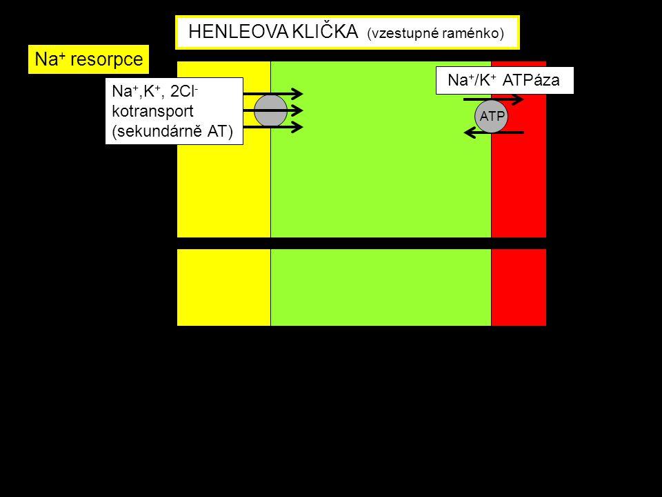 Na +,K +, 2Cl - kotransport (sekundárně AT) Na + /K + ATPáza ATP HENLEOVA KLIČKA (vzestupné raménko) Na + resorpce