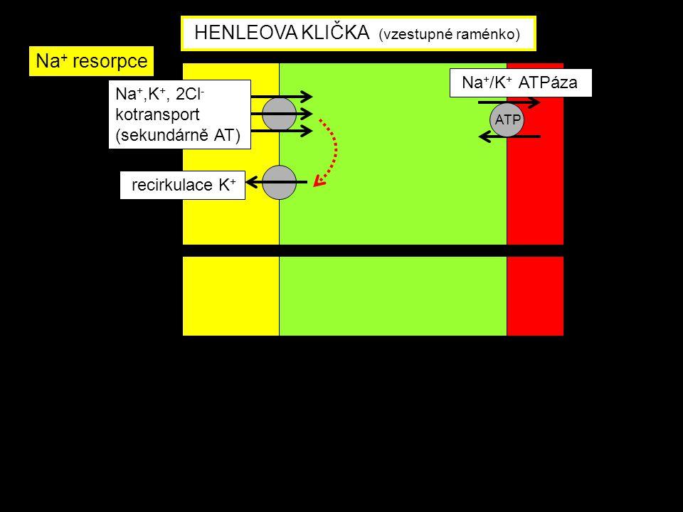 Na +,K +, 2Cl - kotransport (sekundárně AT) Na + /K + ATPáza recirkulace K + ATP HENLEOVA KLIČKA (vzestupné raménko) Na + resorpce
