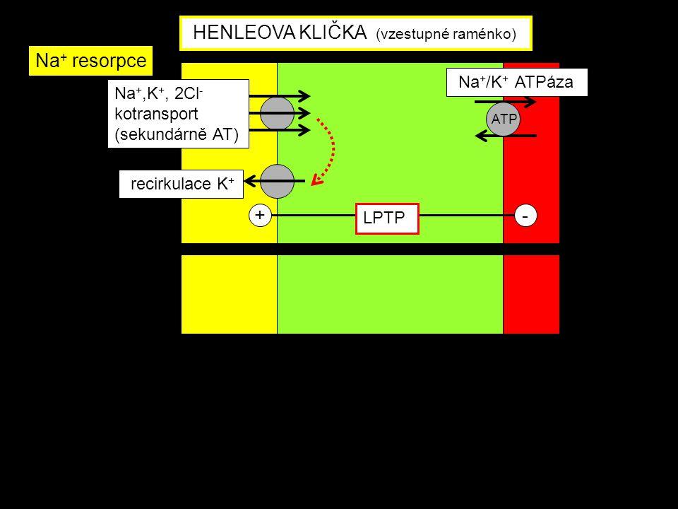Na +,K +, 2Cl - kotransport (sekundárně AT) Na + /K + ATPáza recirkulace K + +- LPTP ATP HENLEOVA KLIČKA (vzestupné raménko) Na + resorpce