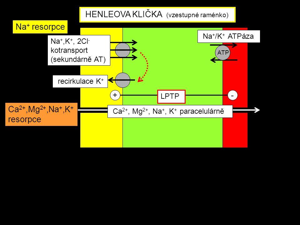 Na +,K +, 2Cl - kotransport (sekundárně AT) Na + /K + ATPáza Ca 2+, Mg 2+, Na +, K + paracelulárně recirkulace K + +- LPTP ATP HENLEOVA KLIČKA (vzestu