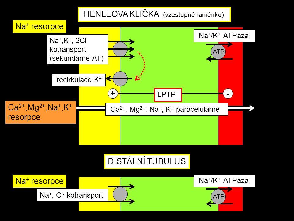 Na +,K +, 2Cl - kotransport (sekundárně AT) Na + /K + ATPáza Ca 2+, Mg 2+, Na +, K + paracelulárně recirkulace K + +- LPTP Na + /K + ATPáza Na +, Cl -