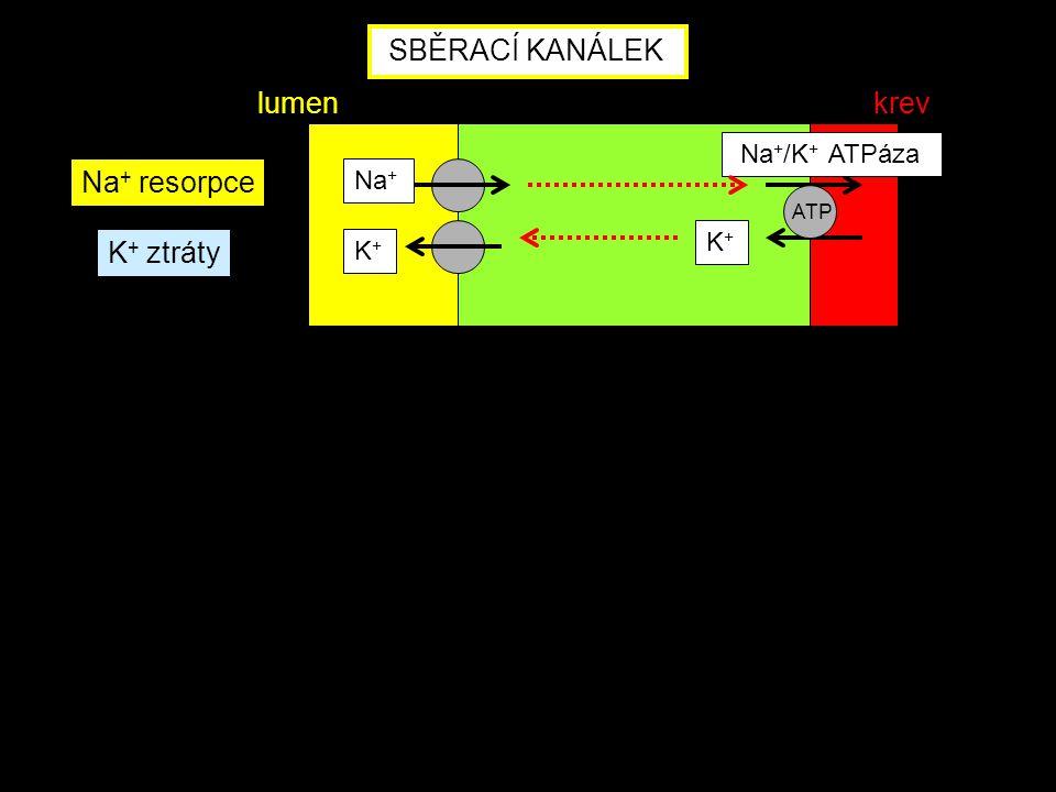 Na + Na + /K + ATPáza K+K+ ATP SBĚRACÍ KANÁLEK Na + resorpce K+K+ K + ztráty lumenkrev
