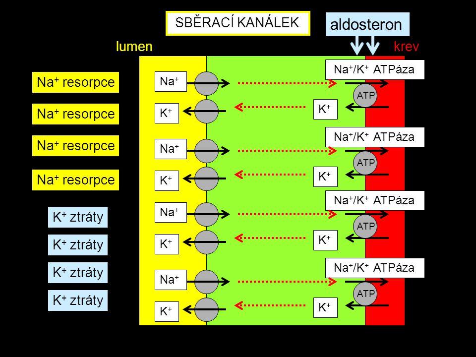Na + Na + /K + ATPáza K+K+ ATP SBĚRACÍ KANÁLEK Na + resorpce K+K+ K + ztráty aldosteron Na + Na + /K + ATPáza K+K+ ATP K+K+ Na + Na + /K + ATPáza K+K+