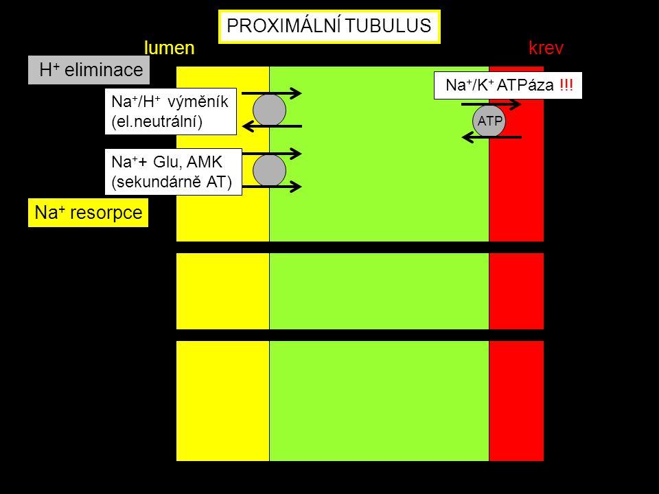 ATP Na + + Glu, AMK (sekundárně AT) Na + /H + výměník (el.neutrální) Na + resorpce H + eliminace PROXIMÁLNÍ TUBULUS lumenkrev Na + /K + ATPáza !!!