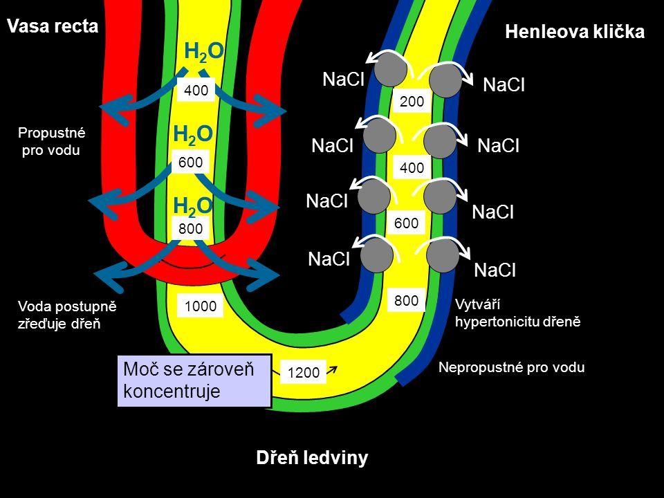 Nepropustné pro vodu H2OH2O Dřeň ledviny Henleova klička Vasa recta H2OH2O Vytváří hypertonicitu dřeně Propustné pro vodu Voda postupně zřeďuje dřeň 1