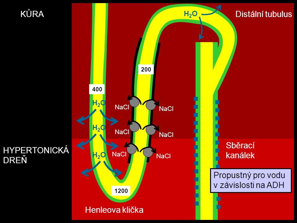 HYPERTONICKÁ DREŇ Henleova klička Distální tubulus Sběrací kanálek KŮRA NaCl H2OH2O H2OH2O H2OH2O 1200 400 200 H2OH2O Propustný pro vodu v závislosti