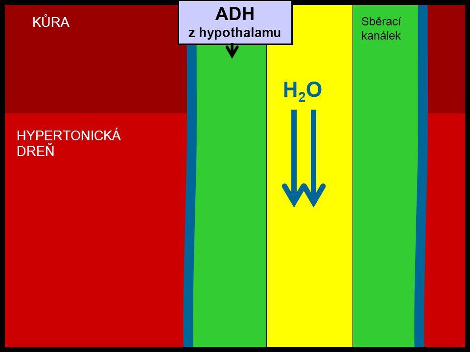 H2OH2O Sběrací kanálek KŮRA HYPERTONICKÁ DREŇ ADH z hypothalamu