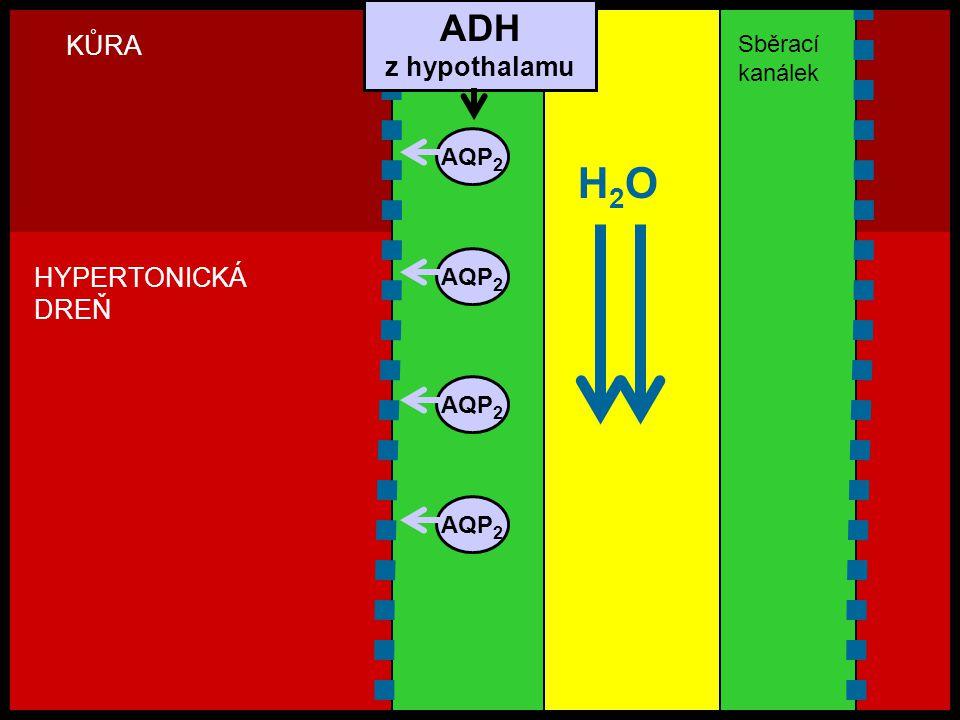 H2OH2O AQP 2 KŮRA HYPERTONICKÁ DREŇ ADH z hypothalamu Sběrací kanálek