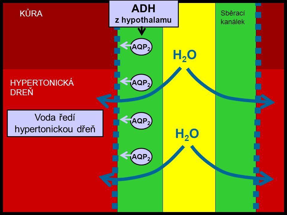H2OH2O AQP 2 H2OH2O KŮRA HYPERTONICKÁ DREŇ Voda ředí hypertonickou dřeň ADH z hypothalamu Sběrací kanálek