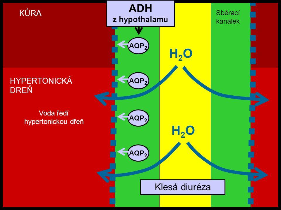 H2OH2O AQP 2 H2OH2O KŮRA HYPERTONICKÁ DREŇ Klesá diuréza Voda ředí hypertonickou dřeň ADH z hypothalamu Sběrací kanálek