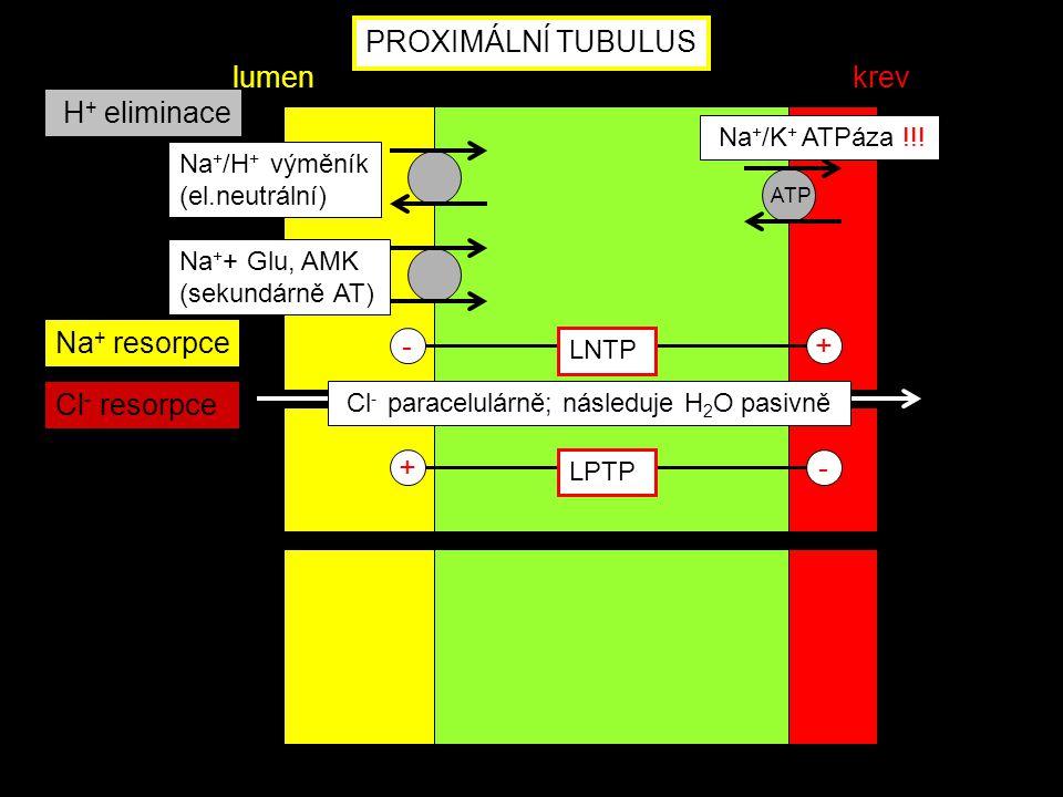 ATP Na + + Glu, AMK (sekundárně AT) Na + /H + výměník (el.neutrální) - LNTP + +- LPTP Na + resorpce H + eliminace PROXIMÁLNÍ TUBULUS lumenkrev Na + /K