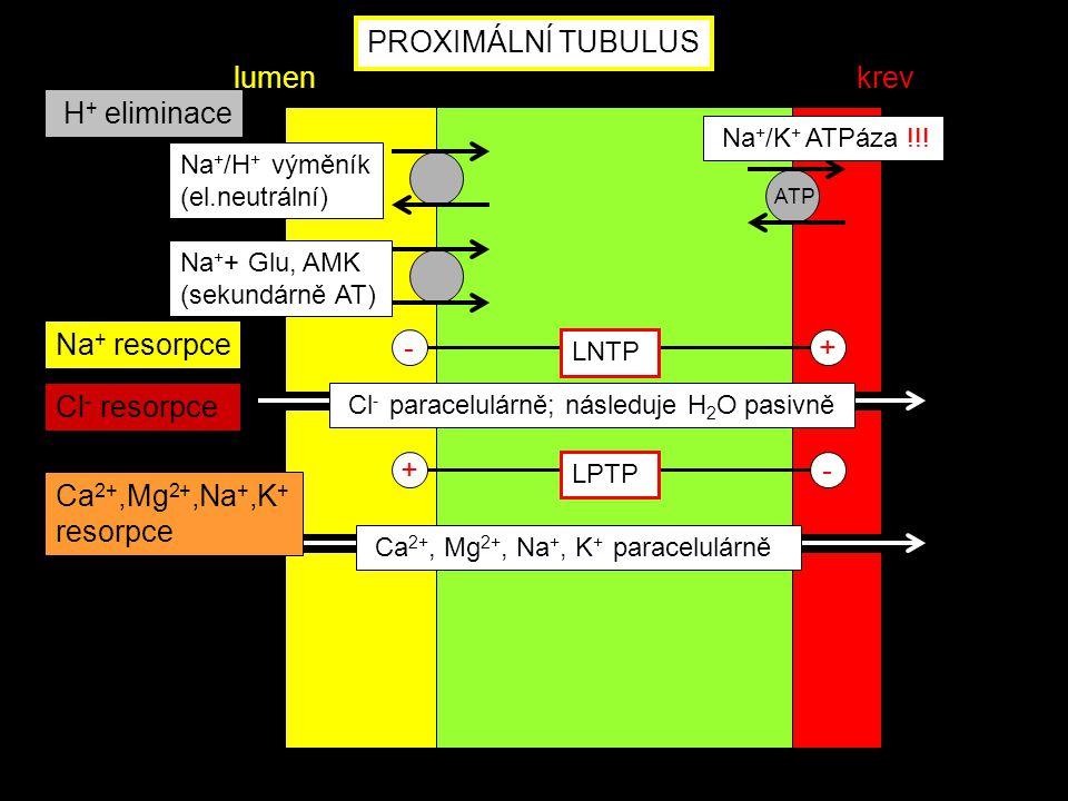 ATP Na + + Glu, AMK (sekundárně AT) Na + /H + výměník (el.neutrální) - LNTP + +- LPTP Ca 2+, Mg 2+, Na +, K + paracelulárně Na + resorpce Ca 2+,Mg 2+,