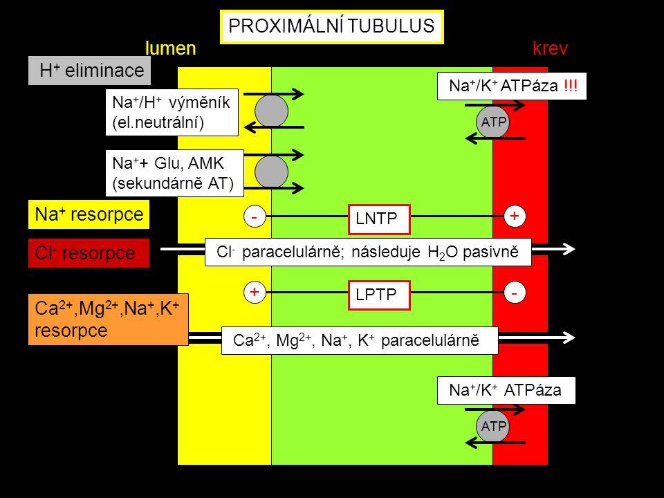 PROXIMÁLNÍ TUBULUS ATP Na + /K + ATPáza lumenkrev ATP Na + + Glu, AMK (sekundárně AT) Na + /H + výměník (el.neutrální) - LNTP + +- LPTP Ca 2+, Mg 2+,