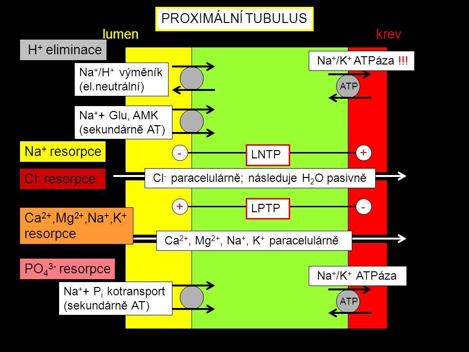 PROXIMÁLNÍ TUBULUS ATP Na + /K + ATPáza Na + + P i kotransport (sekundárně AT) PO 4 3- resorpce lumenkrev ATP Na + + Glu, AMK (sekundárně AT) Na + /H
