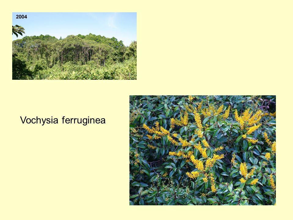 Vochysia ferruginea