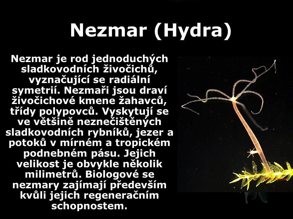 Nezmar (Hydra) Nezmar je rod jednoduchých sladkovodních živočichů, vyznačující se radiální symetrií. Nezmaři jsou draví živočichové kmene žahavců, tří