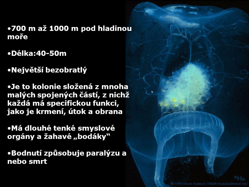 700 m až 1000 m pod hladinou moře Délka:40-50m Největší bezobratlý Je to kolonie složená z mnoha malých spojených částí, z nichž každá má specifickou
