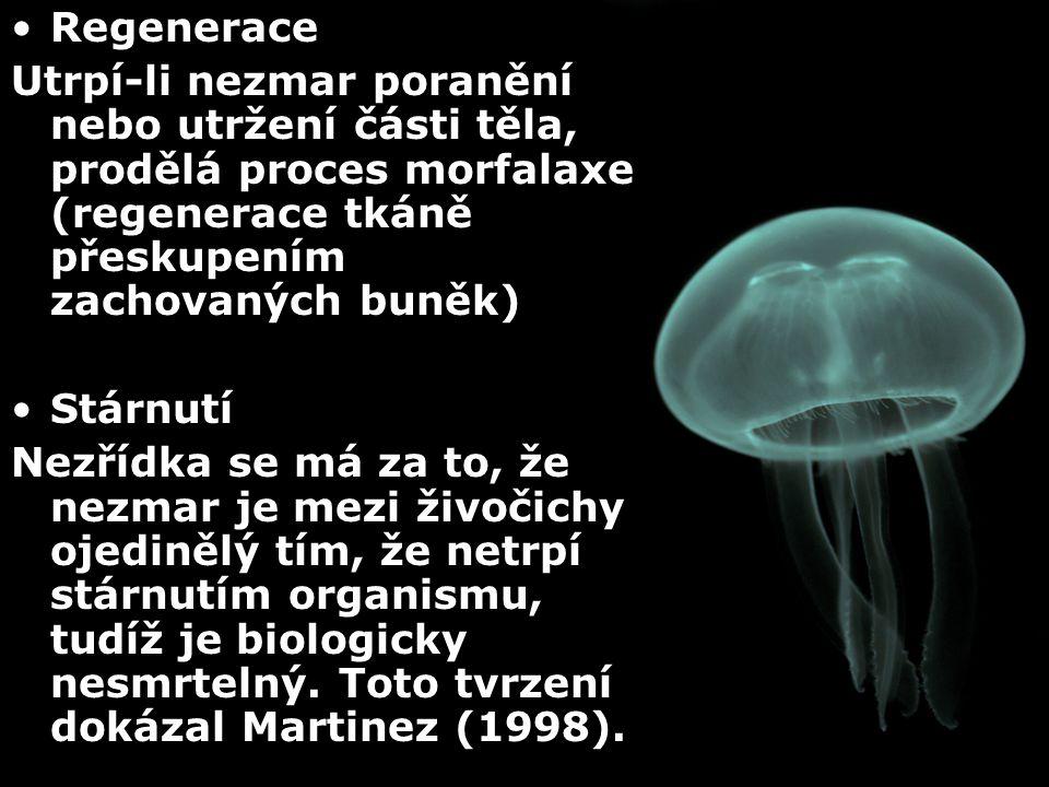 Regenerace Utrpí-li nezmar poranění nebo utržení části těla, prodělá proces morfalaxe (regenerace tkáně přeskupením zachovaných buněk) Stárnutí Nezříd