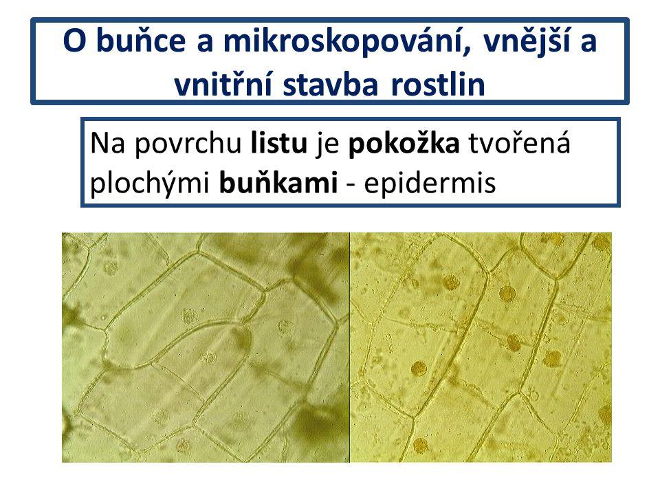 Na povrchu listu je pokožka tvořená plochými buňkami - epidermis