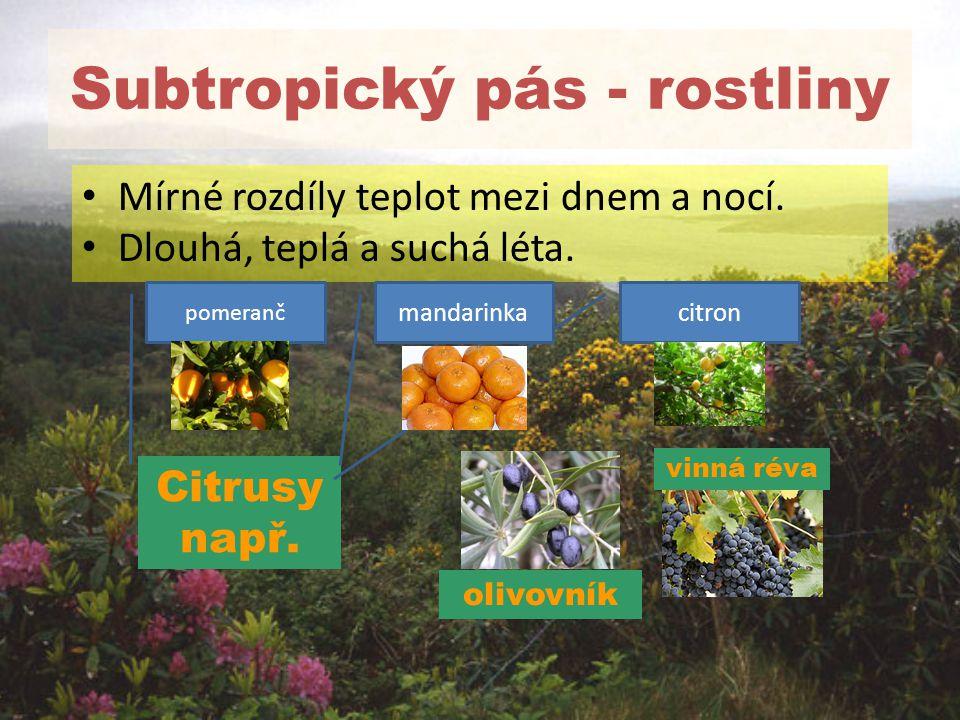 Subtropický pás - rostliny Mírné rozdíly teplot mezi dnem a nocí. Dlouhá, teplá a suchá léta. vinná réva olivovník Citrusy např. pomeranč citronmandar