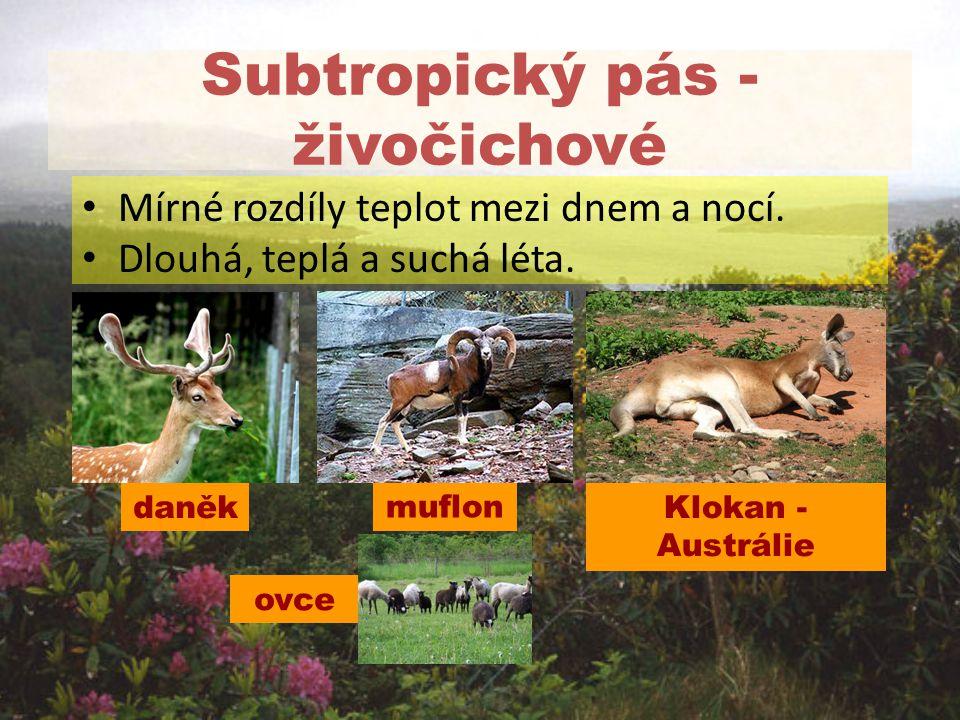 Subtropický pás - živočichové Mírné rozdíly teplot mezi dnem a nocí. Dlouhá, teplá a suchá léta. daněk ovce Klokan - Austrálie muflon