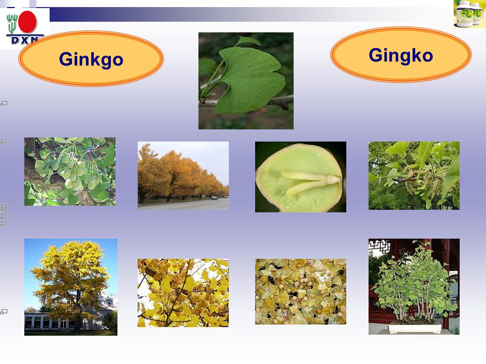 Ginkgo Gingko
