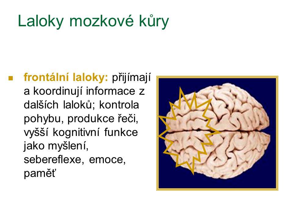 Laloky mozkové kůry frontální laloky: přijímají a koordinují informace z dalších laloků; kontrola pohybu, produkce řeči, vyšší kognitivní funkce jako