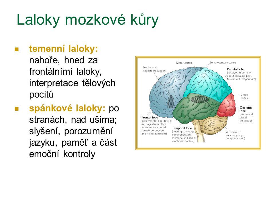Laloky mozkové kůry temenní laloky: nahoře, hned za frontálními laloky, interpretace tělových pocitů spánkové laloky: po stranách, nad ušima; slyšení,
