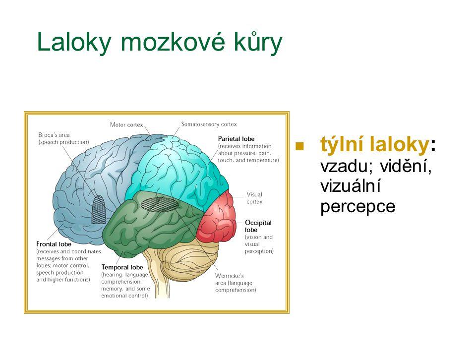 týlní laloky: vzadu; vidění, vizuální percepce Laloky mozkové kůry