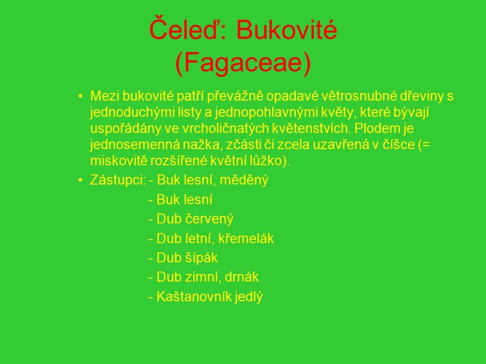 Čeleď: Bukovité (Fagaceae) Mezi bukovité patří převážně opadavé větrosnubné dřeviny s jednoduchými listy a jednopohlavnými květy, které bývají uspořád