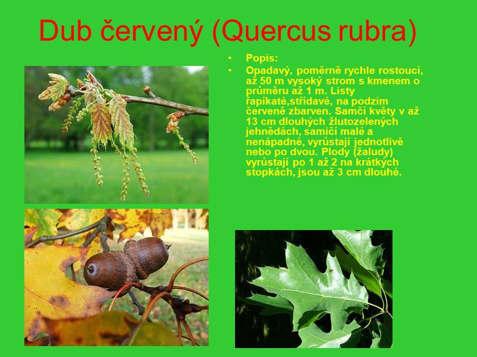 Dub červený (Quercus rubra) Popis: Opadavý, poměrně rychle rostoucí, až 50 m vysoký strom s kmenem o průměru až 1 m. Listy řapíkaté,střídavé, na podzi